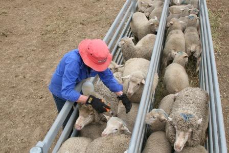 Needling Lambs